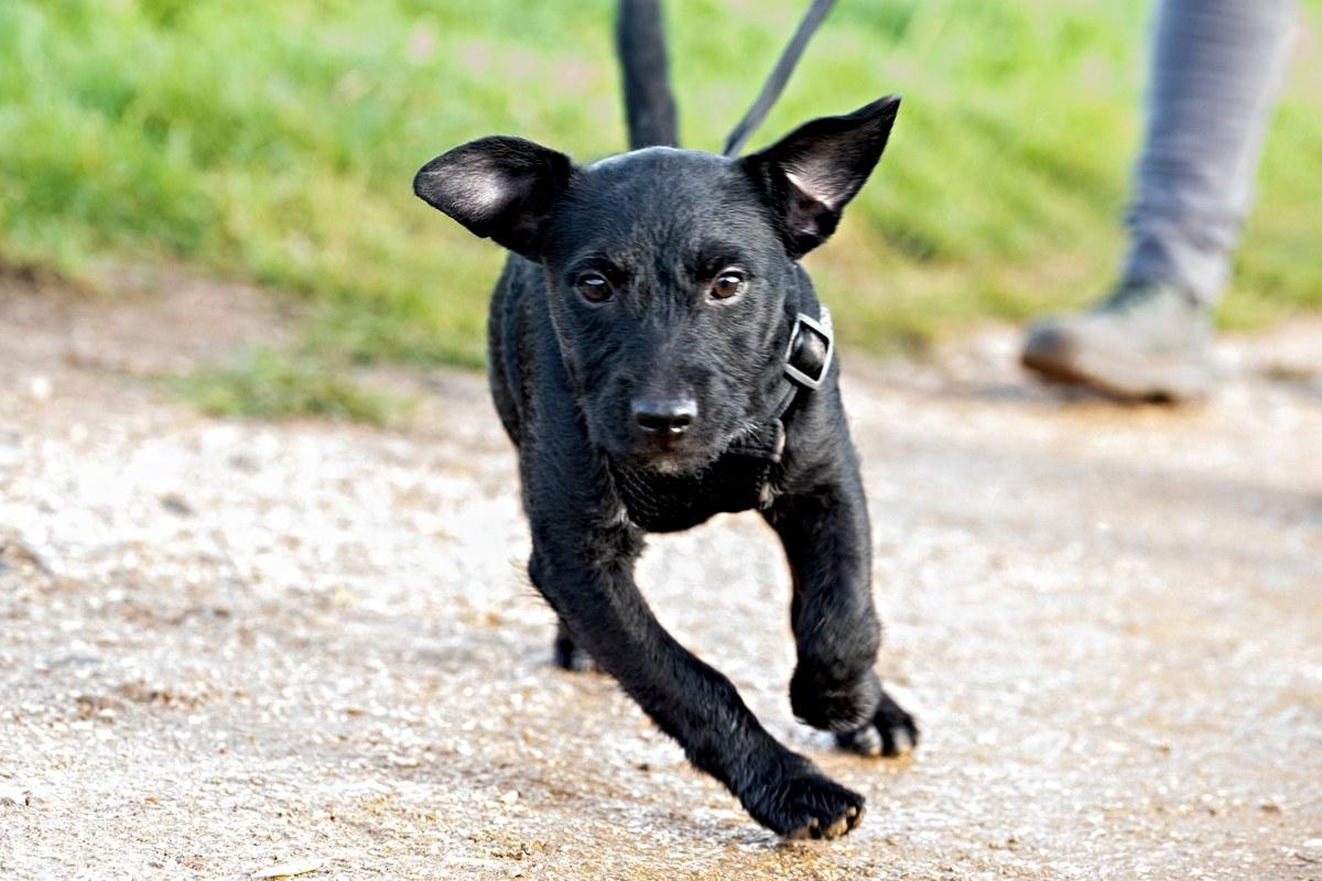 gorgeous puppy patterdale terrior with black fur running at the group dog walk in norwich